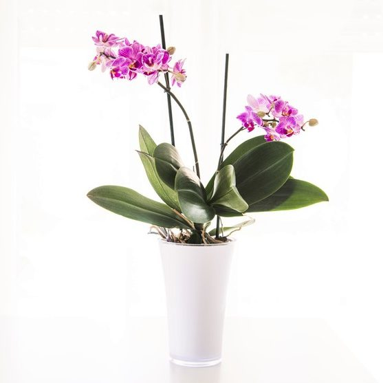 Pretty pink orchid in a pot